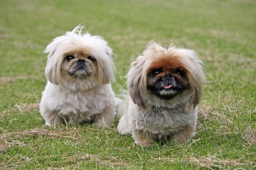 Adorable Male And Female Pekingese Dog Names Pup Junkies