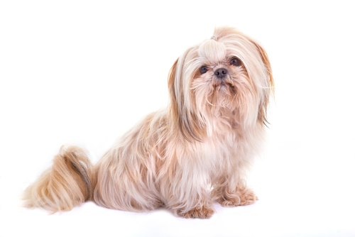 Shih Tzu Dog Names 2019