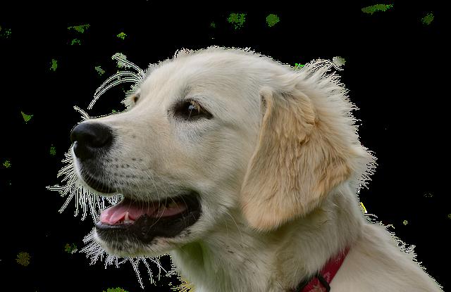 Best Dog Grooming Brush For Golden Retriever