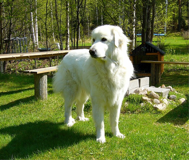 pyrenean-mountain-dog-518259_640