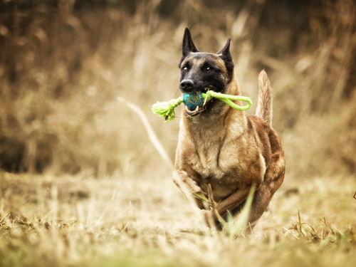 Best Dog Toys for Belgian Malinois