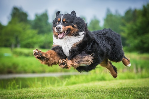 Bernese Mountain Dogs1