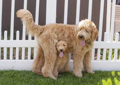 Goldendoodle Dog Names 2019