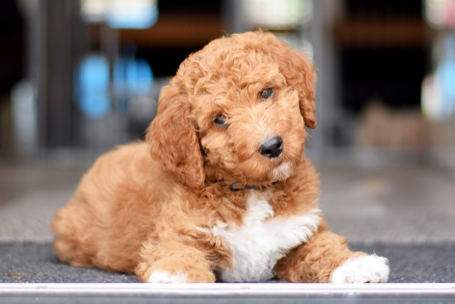 Male And Female Dog Names For Toy Poodle 2019