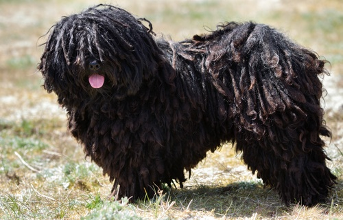 Black Mop Dogs For Sale