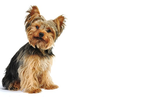 Best Male And Female Dog Names For Yorkies In 2019