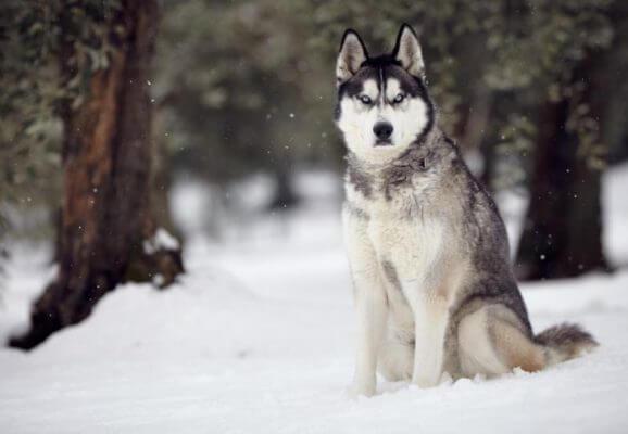 Siberian-Husky-pinterest.com_[1]