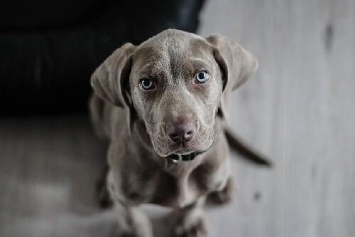 weimaraner-dog