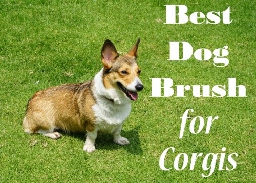Bestbrushcorgi