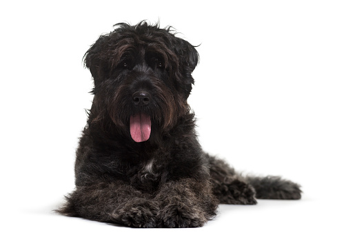 Bouvier des Flandres dog lying against white background