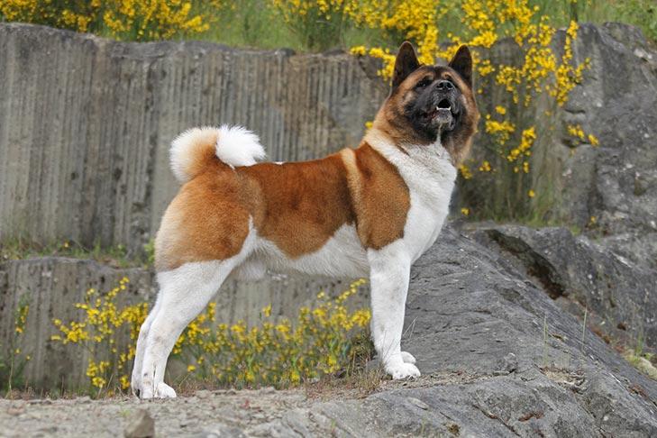 Akita dog breeds with blue tongue