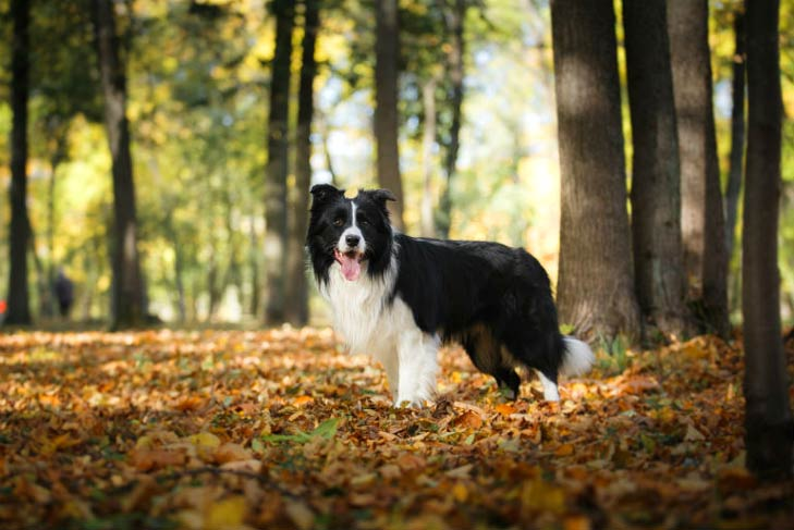Border Collie dog breeds with blue tongue