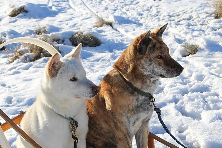 Korean Jindo dog breeds with blue tongue