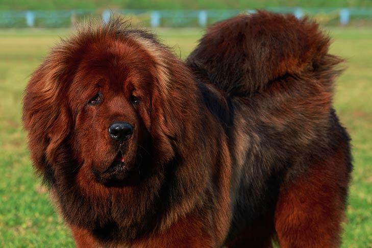 Tibetan Mastiff dog breeds with blue tongue