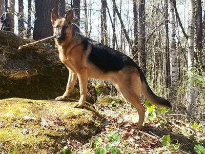 German Shepherd dog breeds with blue tongue